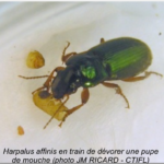 Harpalus_affunis_vs_mouche