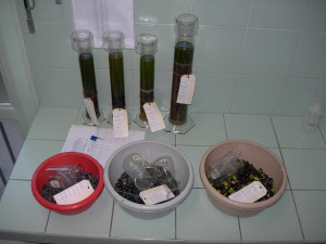 Extraction et analyse d'un lot d'olives