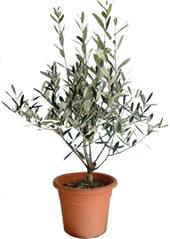 l olivier en pot afidol